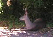 A young buck deer resting in the shade