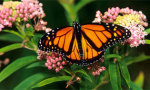 A Monarch Butterfly from the NRDC website